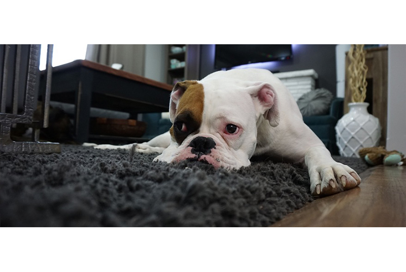5 Best Ways to Remove Pet Odor in Your Apartment